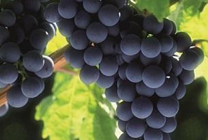 Basilicata-Aglianico-vitigno