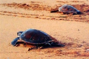 Akamas - tartarughe