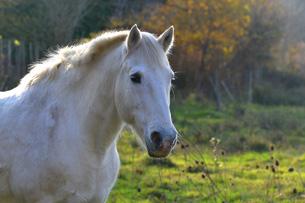 Camargues-cavallo-bianco