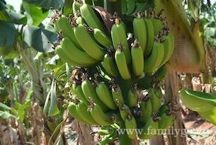 Cipro-pafos-banane