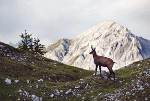 Innsbruck stambecchi