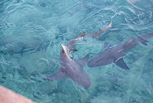 Squali-alle-Bahamas-Photo-Devid-Rotasperti-Photographer (2)