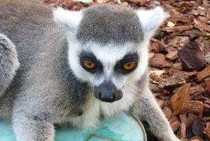 Valencia-per-bambini-familygo-bioparc-lemure