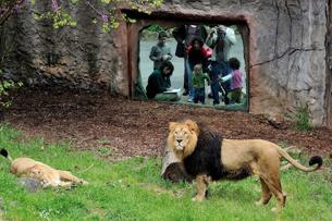 recensione bioparco roma, l'area dei leoni asiatici. Foto Archivio Bioparco M. Di Giovanni