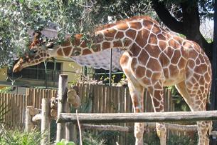 Le giraffe, recensione bioparco roma