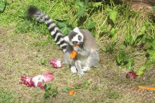 recensione bioparco roma, il pasto dei Lemuri