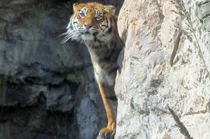 recensione bioparco roma, Tigre di Sumatra