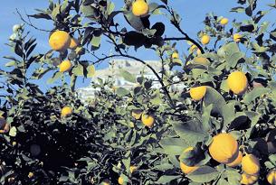 calabria-alto-jonio-cosentino-rocca-imperiale-limoni