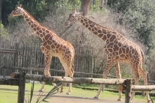 recensione bioparco roma, Casa delle giraffe
