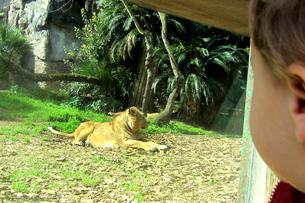 recensione bioparco roma, leonessa