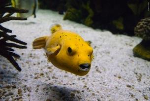 lisbona-oceanografico-pesce-balao