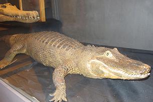 Museo di zoologia Roma bambini, coccodrillo