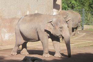 recensione bioparco roma, Sofia, l'elefante asiatico