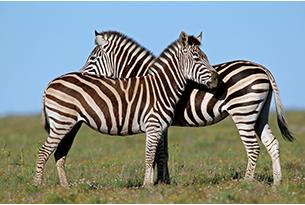 sudafrica-8692480 zebra
