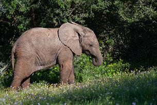 sudafrica-baby elephant amakhala game reserve