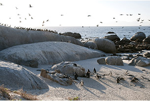 sudafrica-boulder's beach pinguini