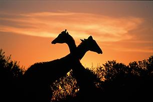 sudafrica-foto8_giraffes at sunset 2003_008
