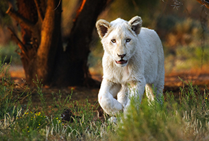 sudafrica-sanbona wildlife reserve white lion