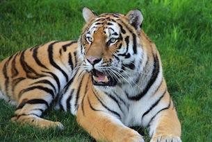 tigre_ZoomTorino_TempioTigri