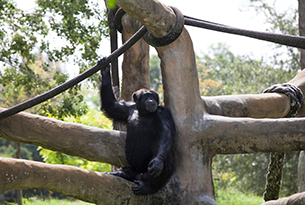 zoo-miami-adult-chimpanzee-3