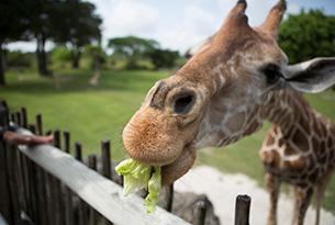 zoo-miami-giraffe-11-cu